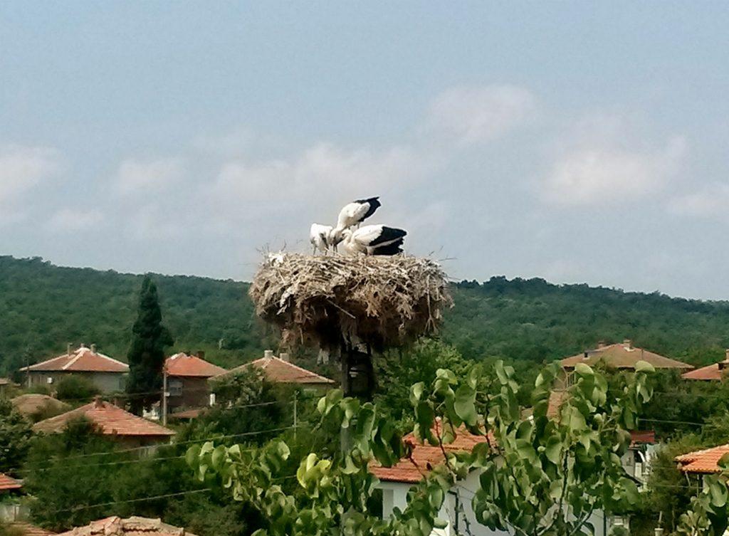 storchs in a nest
