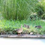 eine Gruppe von Enten am grünen Ufer