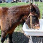 ein Pony trinkt