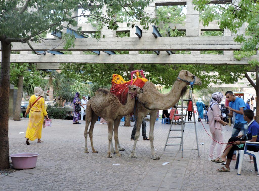 zwei Kamele in Sidi Harazem_Marokko