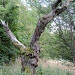knorriger Baum, Ausflug in Wien zu Jugendstil Architektur