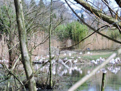 Flamingos im Teich in Salzburg