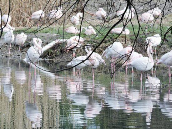 Flamingos im Salzburg Frühling