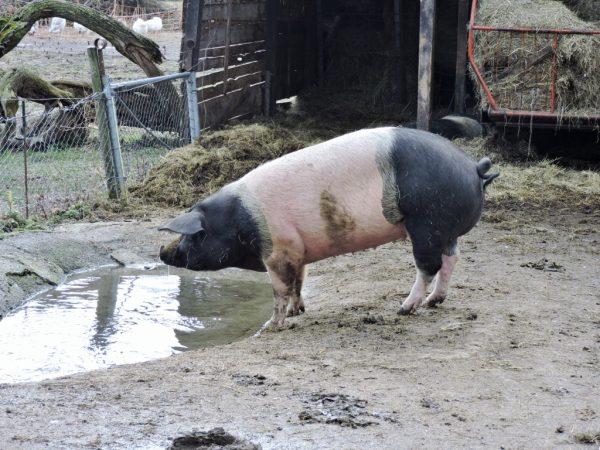 Schwein beim Trinken_Salzburg