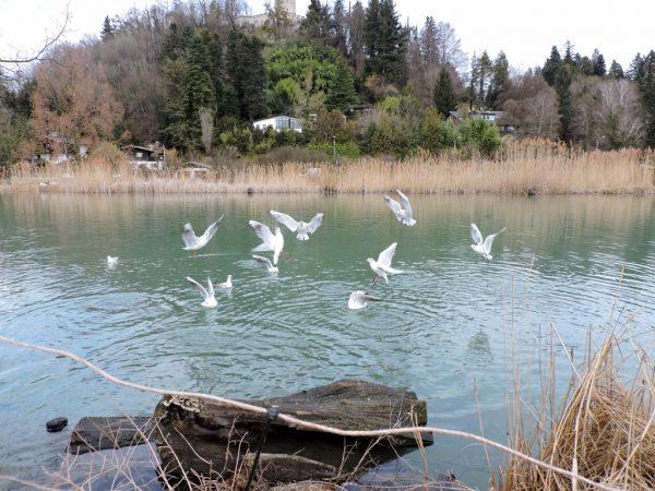Möwen am Teich in Salzburg