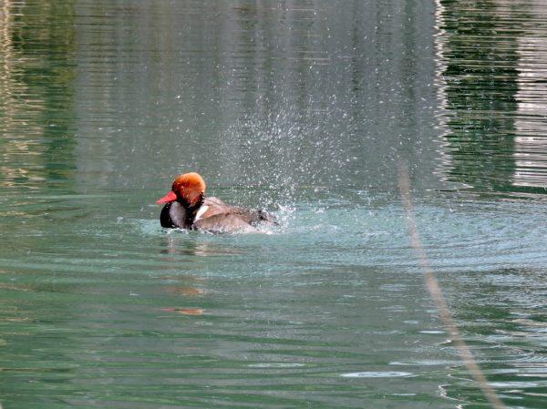 Ente im Teich in Salzburg