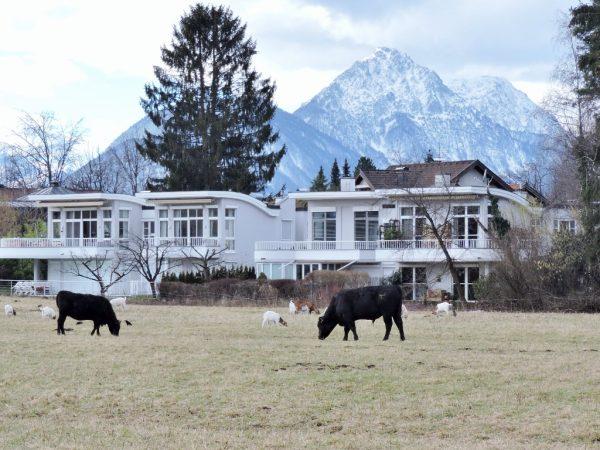 Weidende Rinder in der Stadt Salzburg