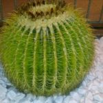 Kugel-Kaktus_Türkei