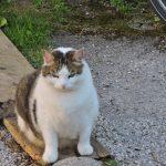 dicke Katze aus Salzburg