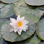 Blühende Seerose