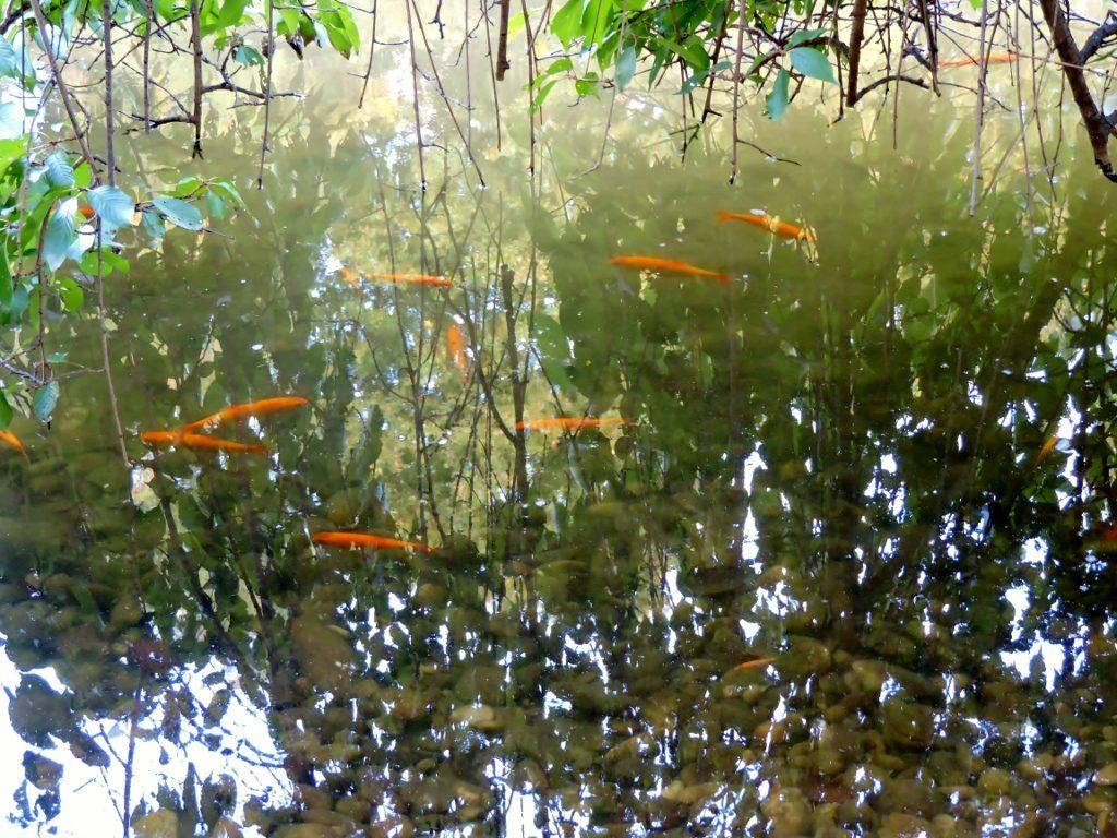 Biotop mit Goldfischen