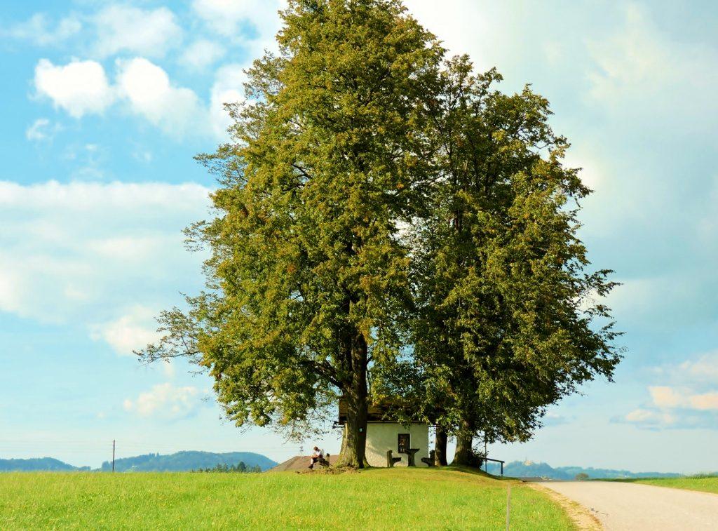 schöne hohe Bäume im Mühlviertel, Wandern und Heilkunst