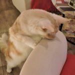 Katze stehend schaut über Sofa
