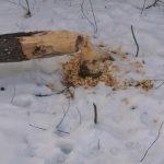 Biber fällen Baum im Wenger Moor