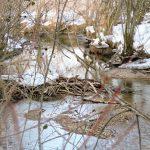 Biber-Burgen am Bach im Wenger Moor