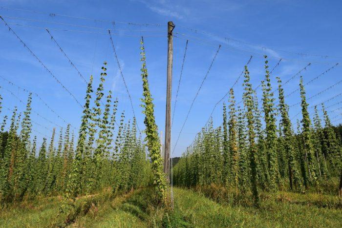 Hopfenanbau, Wo das Bier aus dem Brunnen sprudelt