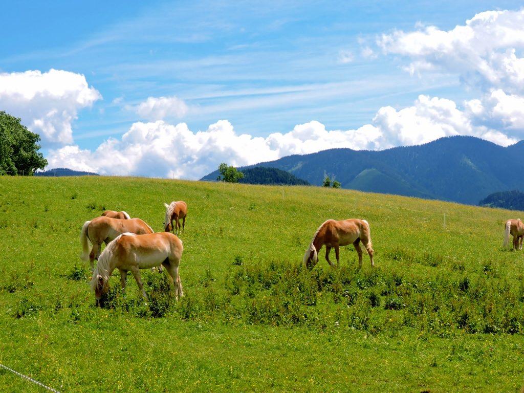 Haflinger Pferde auf den Almen, Almurlaub Salzburg