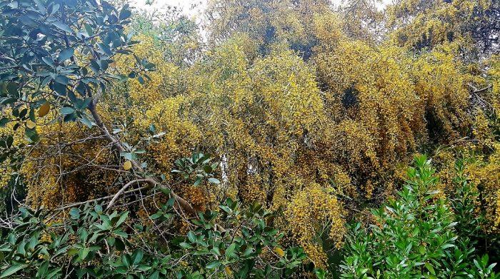 blühende Mimosen, Tunis