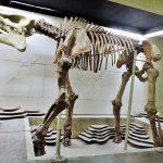 Skelett eines Dinosauriers