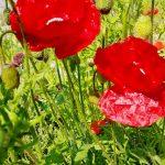 rote Mohnblumen in Wiese