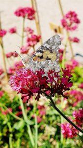 Schmetterling auf roter Blume