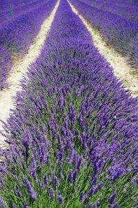 Südmähren Lavendel