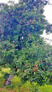hoher Apfelbaum mit vielen roten Äpfeln