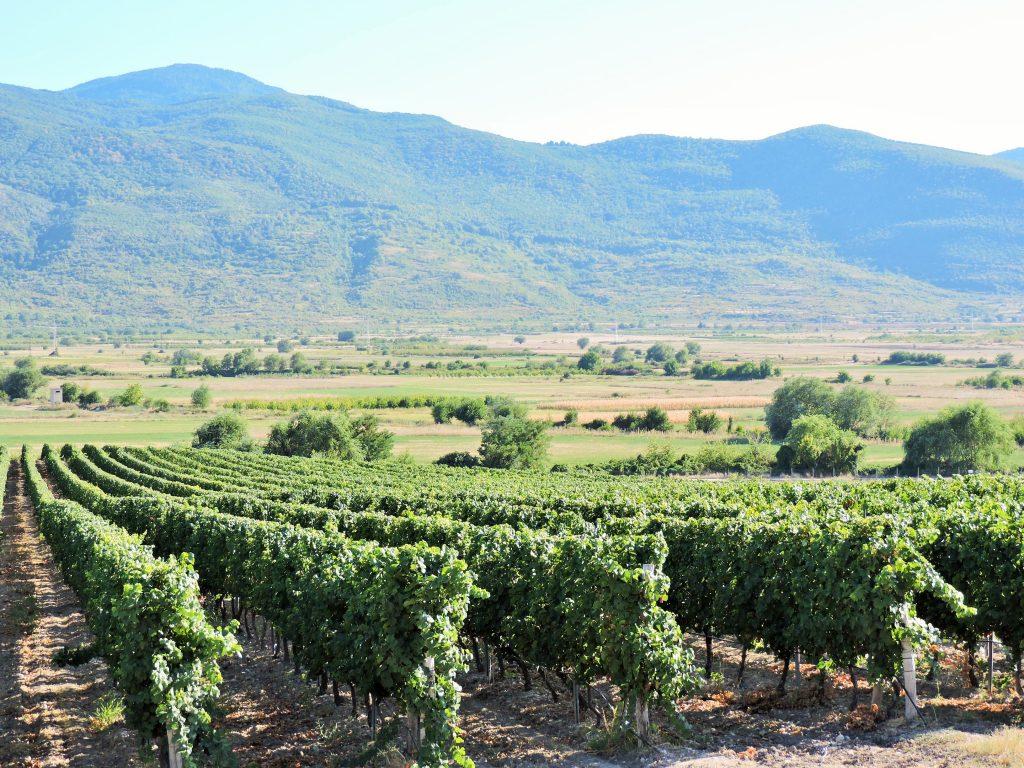 Weinberge in der grünen Landschaft Bulgariens