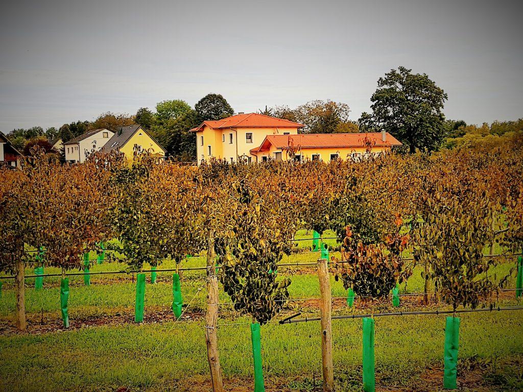 Plantage mit Dirndl-Frucht Sträuchern