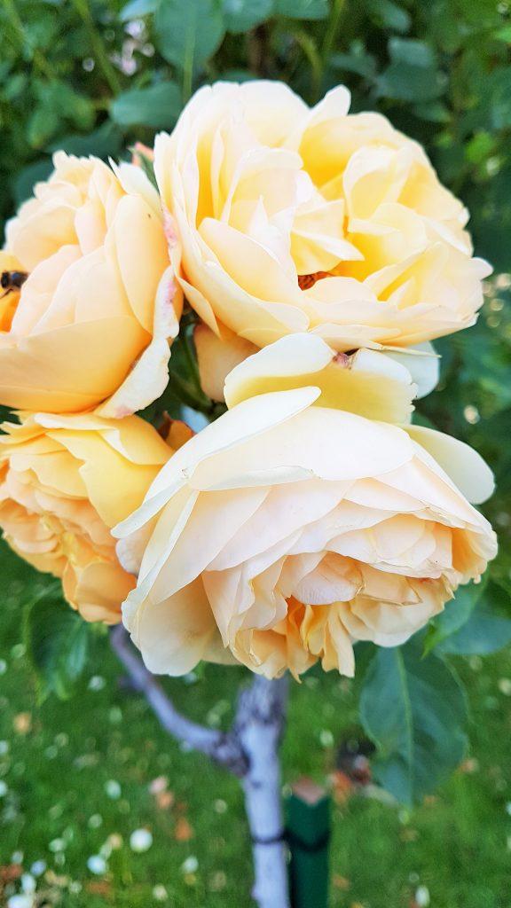 gelb blühende Hochstamm-Rose