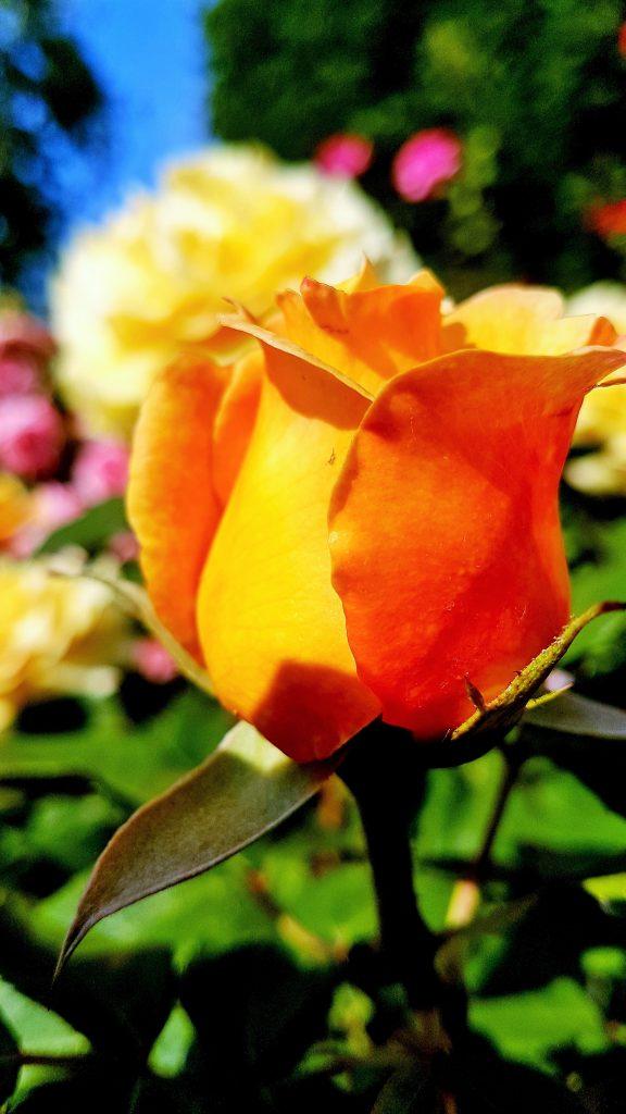 gelb blühende Rose