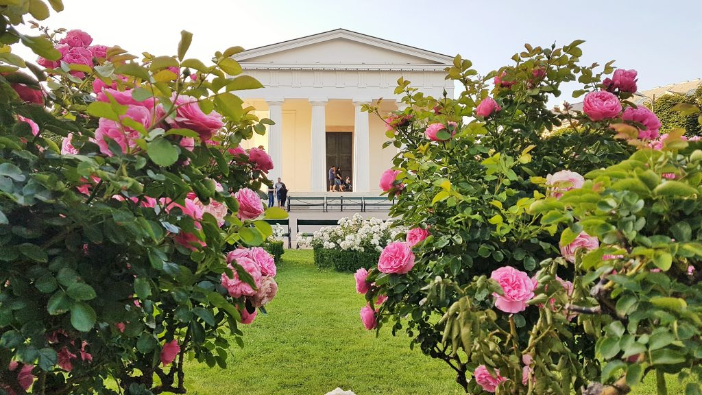 weißer Tempel inmitten rosa blühender Rosensträucher