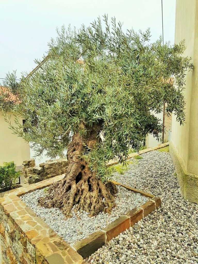 Olivenbaum, Olivenöl Qualität