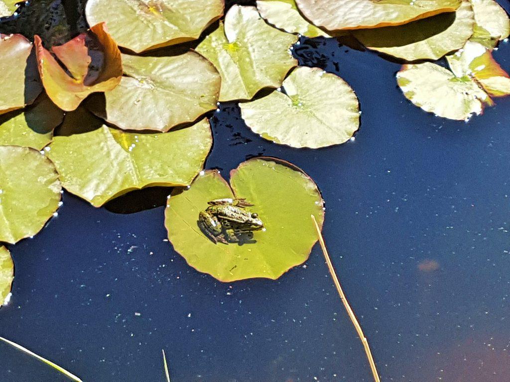 Seerosenteich mit Frosch