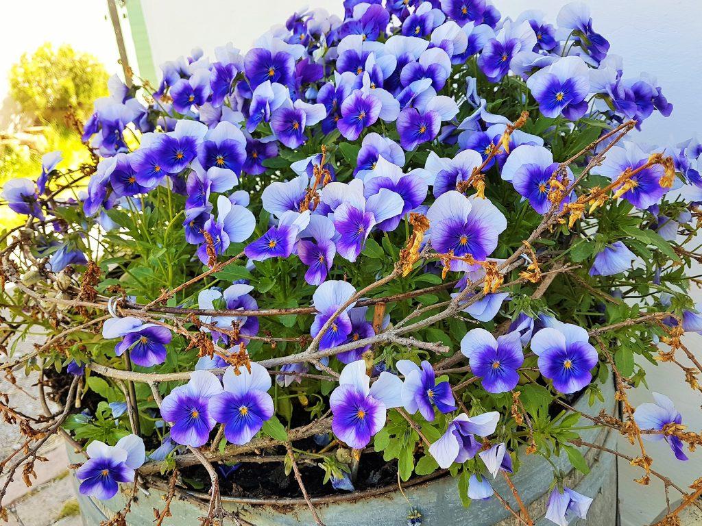 Stiefmütterchen aus den Blumengärten Hirschstetten