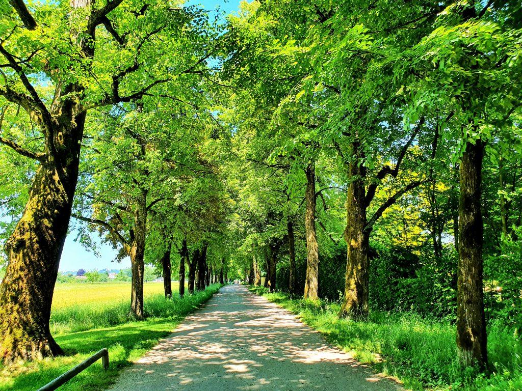 Hellbrunner Allee mit alten grünen Bäumen