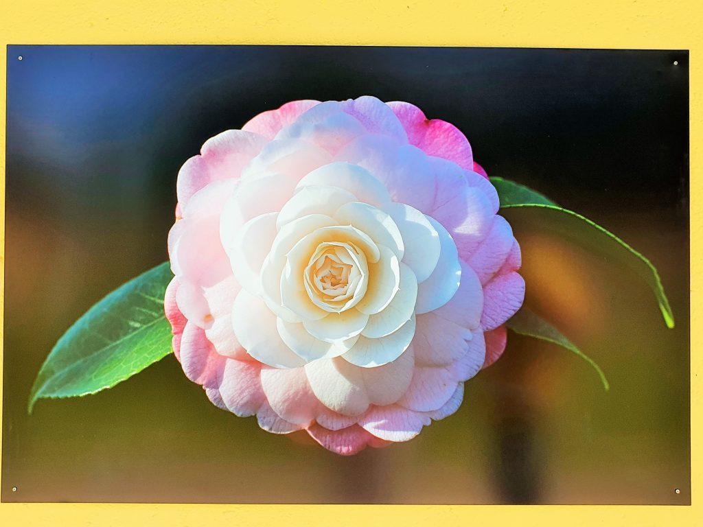 Foto einer weiß-rosa Kamelienblüte