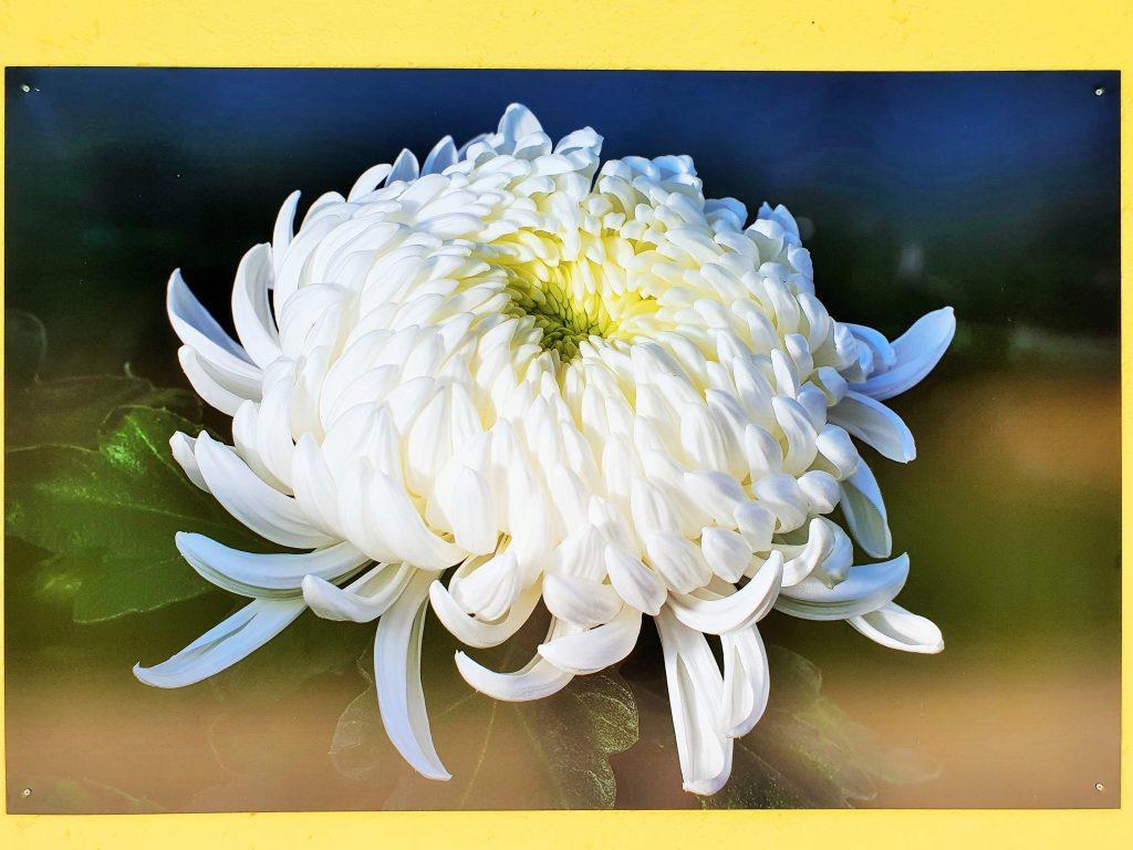 Fotografie eine weißen Blüte