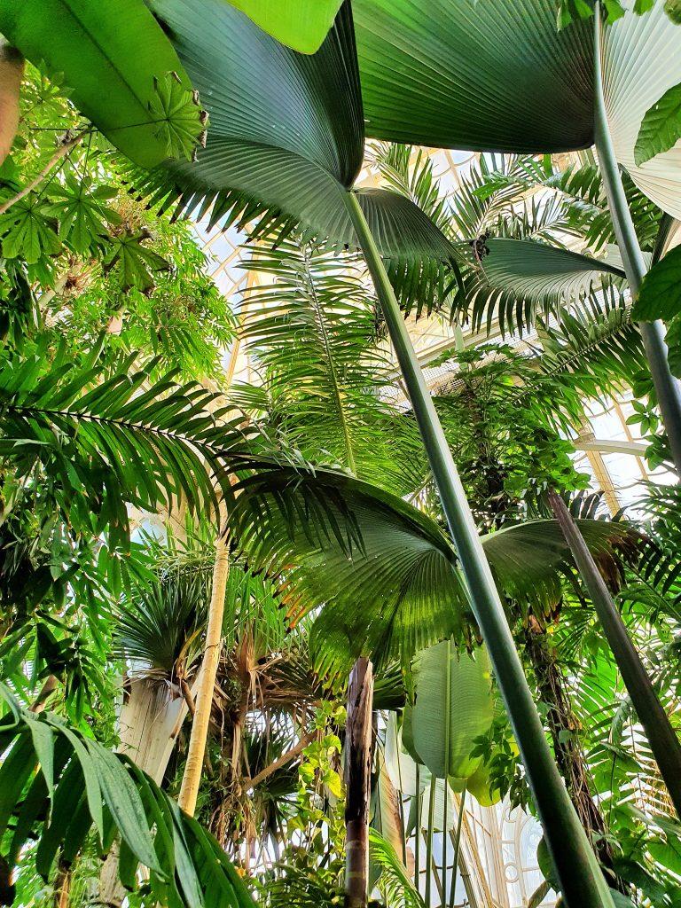 Palmen im Palmenhaus Schönbrunn Wien
