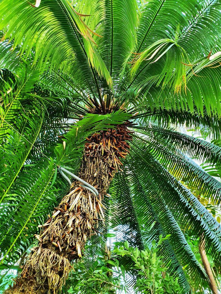 hohe Palme mit üppigen Blättern