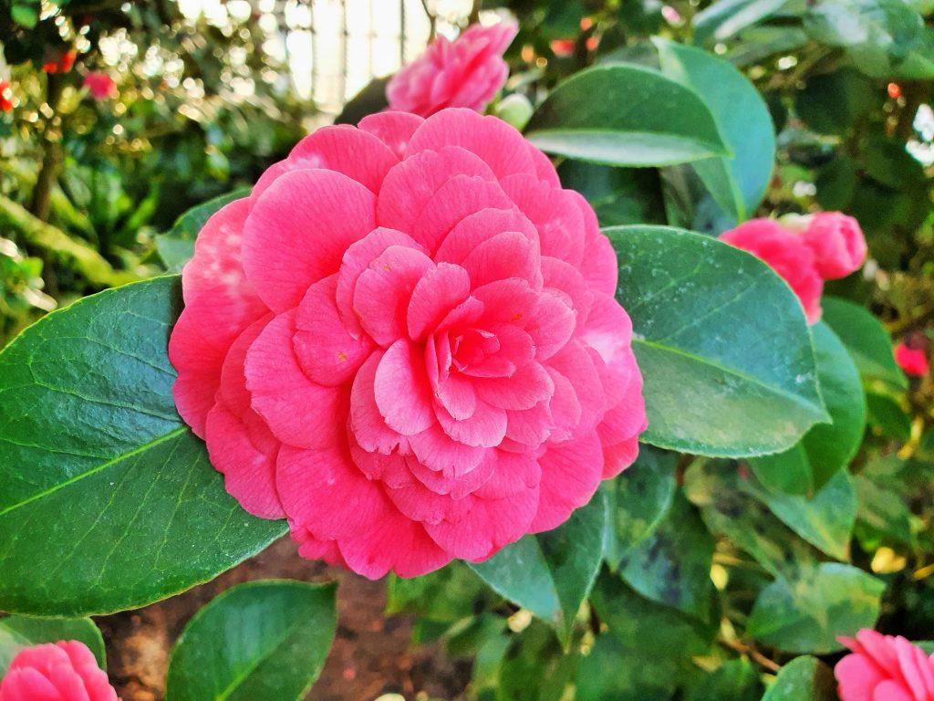wundervolle rote Kamelienblüte
