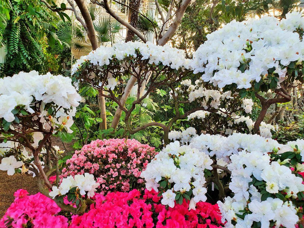 Büsche aus roten, weißen und rosa Azaleen