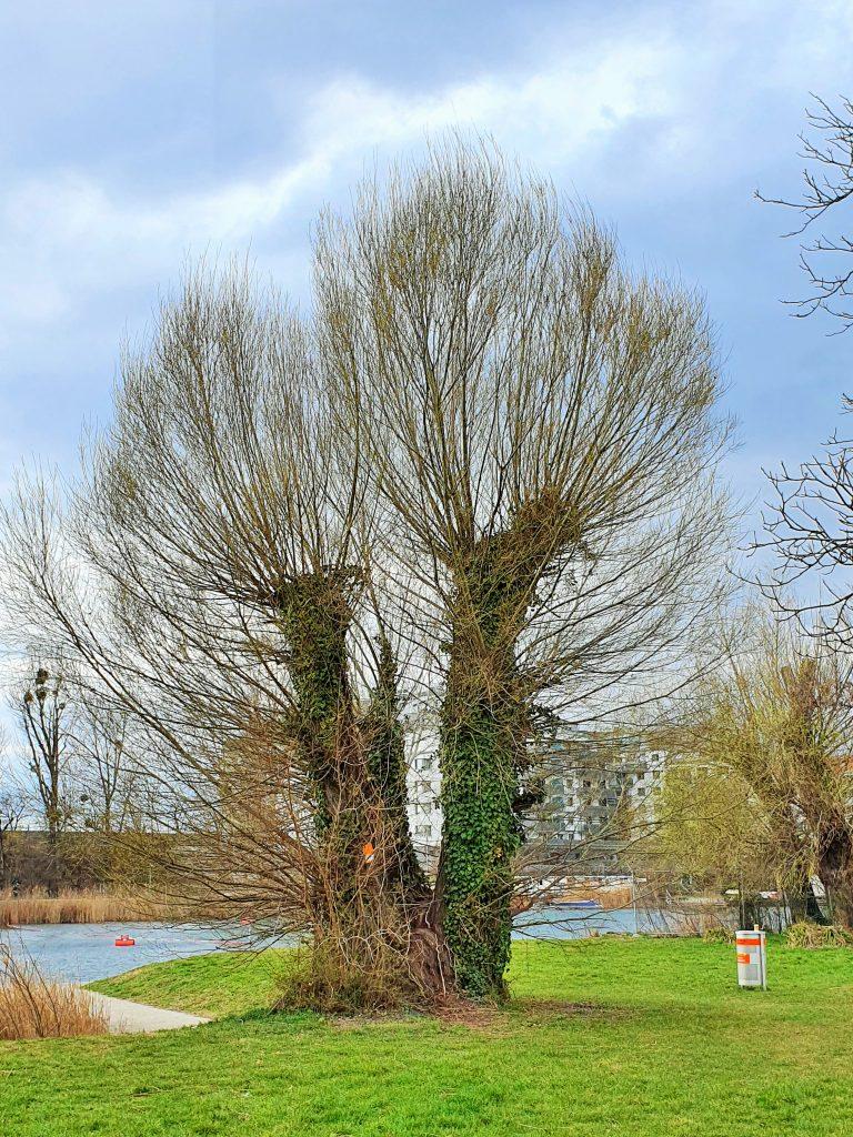 alter Weiden-Baum am Wasser
