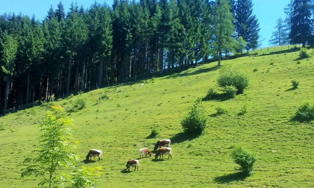 Kühe weiden auf der Alm, von Abtenau zum Egelsee