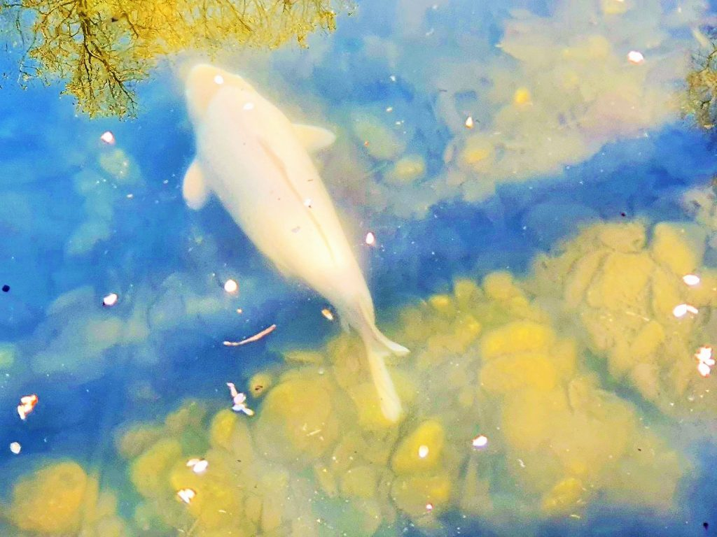 weißer Goldfisch im Wasser
