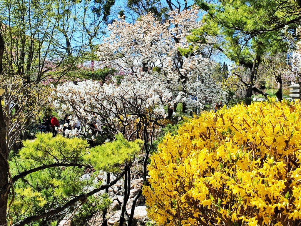 Setagaya Park Blütenzauber von Kirschblüten und Forsythien