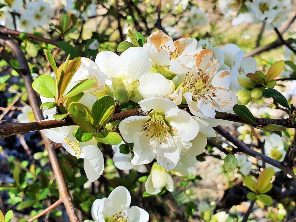 Kirschblüte, Setagaya Park Blütenzauber