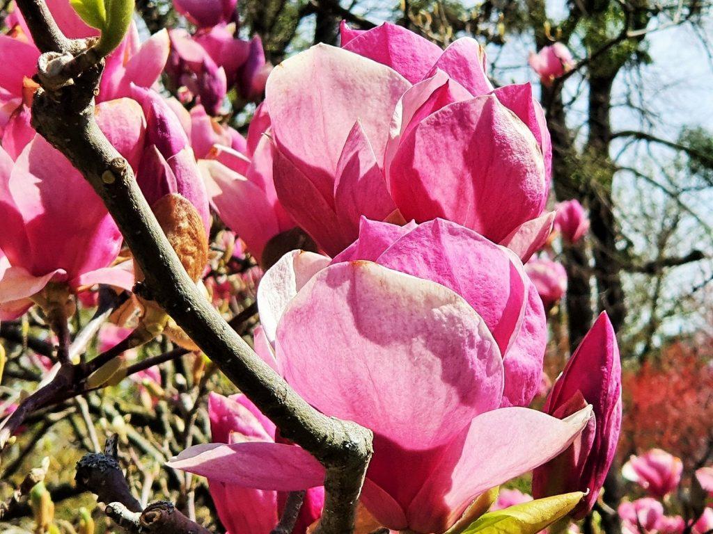 Magnolienblüte auf Baum