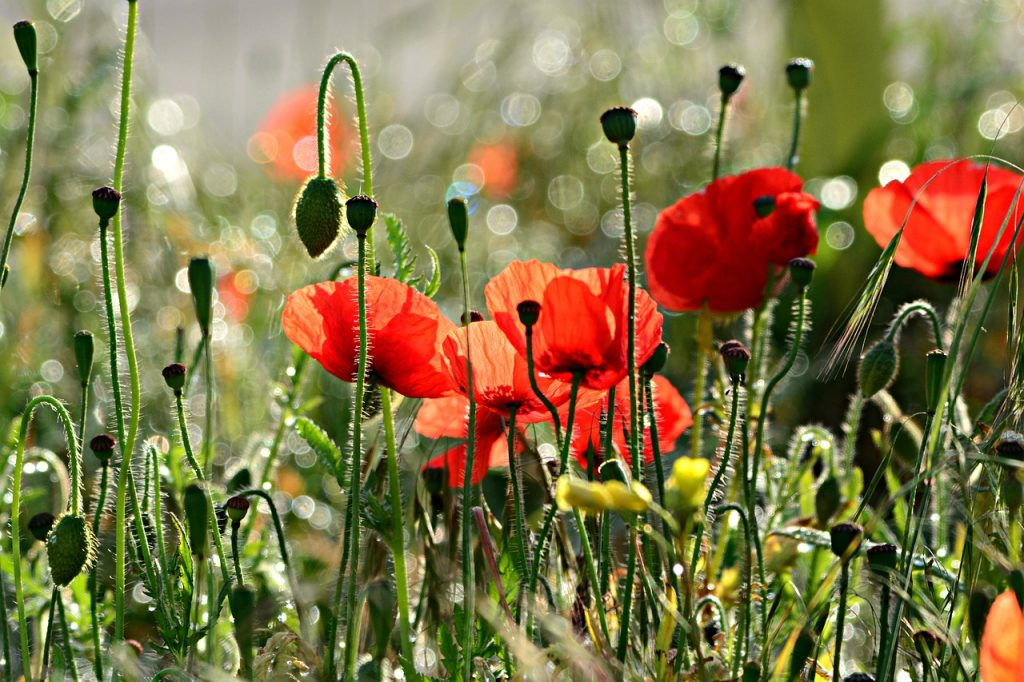 Wiese mit roten Mohnblumen