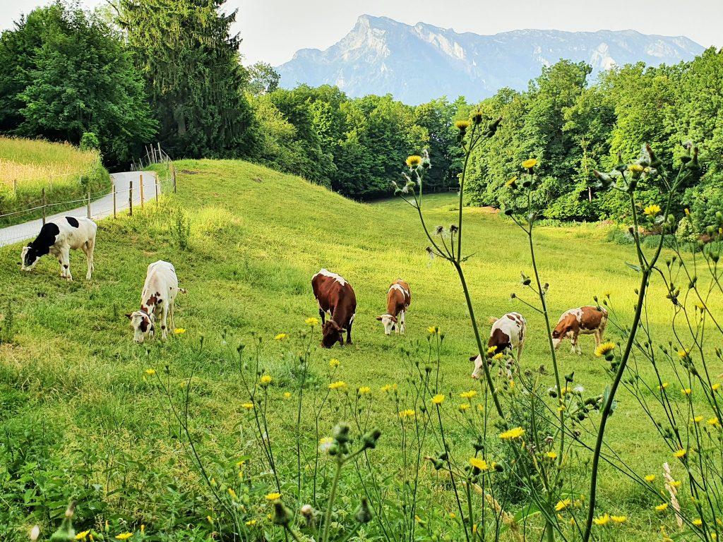 Kühe auf der Weide am Mönchsberg, Salzburg